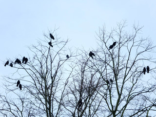 crows perched roosting in a tree in winter with pale blue sky