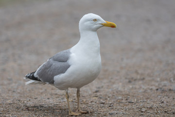 Large sea gull walking on the ground looking into the camera