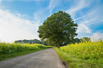 tree with road and canola field