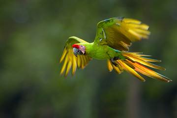 Endangered parrot, Great green macaw, Ara ambiguus, also known as Buffon's macaw. Green-yellow, wild tropical forest parrot, flying with outstretched wings against blurred background. Nicaragua