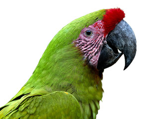 Isolated on white, portrait of endangered parrot, Great green macaw, Ara ambiguus, also known as Buffon's macaw. Close up, wild animal. Colombia