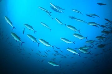 Fish school: Trevallies (Jack fish)