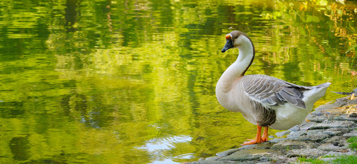 Gray goose against the backdrop of a lake in a summer park.