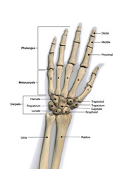Bones of the Hand Labeled on White Background
