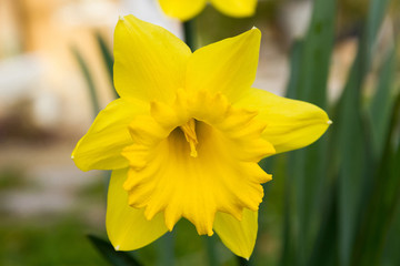 Detalle de Flor Narciso amarilla  dejando ver claramente los petalos de la corola y el interior con el pistilo, estigma y el estilo
