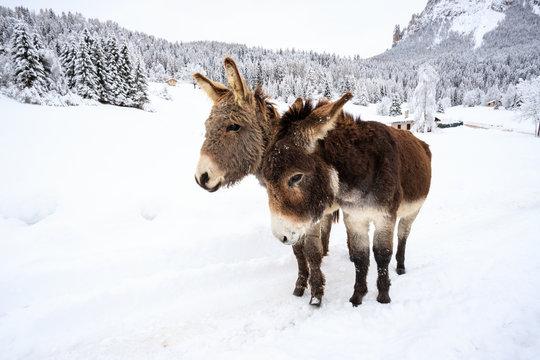 due asinelli sulla neve, in Val Canali, nel parco naturale di Paneveggio - Dolomiti