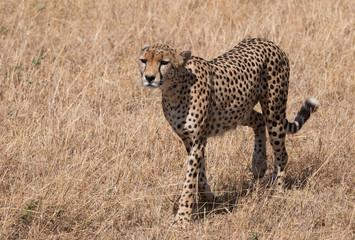 Cheetah in masai mara national park Kenia