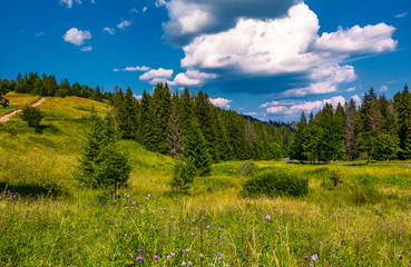 grassy fields and spruce forest in summer. lovely mountainous scenery in good weather