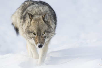 Deurstickers Wolf Timber wolf in winter