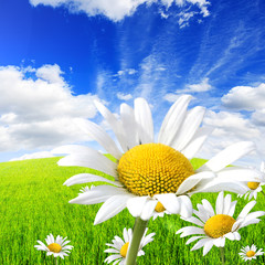 Fototapete - Wild daisies in the green field with a blue sky