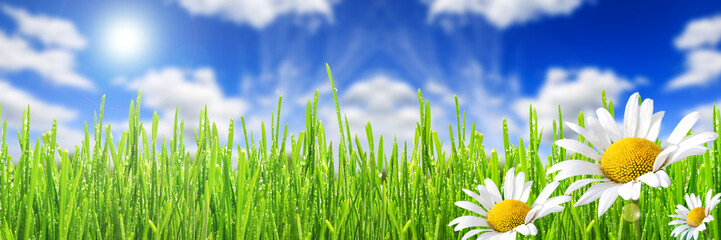 Fototapete - Wild daisies in the green grass with drops of dew and blue sky, border design panoramic banner
