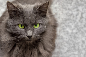 gray cat breed with green eyes on a blurry background, free to the right