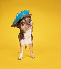 cute chihuahua wearing a sombrero on an isolated yellow background