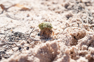 Crab in a light green shell. Shellfish on the beach hides in a shell.