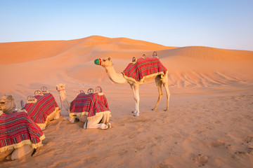 Camels in the desert at sunrise.