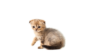 sad very small fluffy kitten scottish fold on white isolated background. With a sore eye that is peeling off