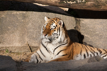 bengal tiger lying on the ground