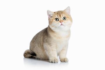 Cat. Small golden british kitten on white background