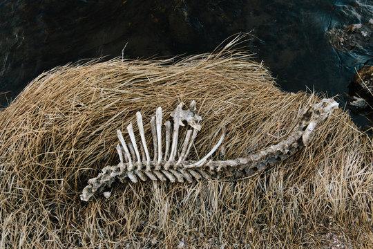 Skeleton from a dead deer lies on a riverbank
