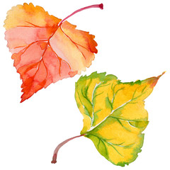 Autumn leaf of poplar in a hand-drawn watercolor style isolated. Aquarelle leaf of poplar for background, texture, wrapper pattern, frame or border.