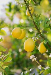 Lemons on the Backyard Tree