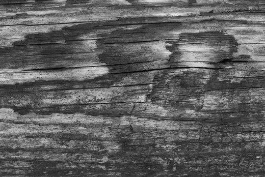 Texture of wood monochrome photo