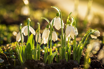 Snowdrops first spring flowers.