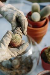 Woman repotting cactus plants