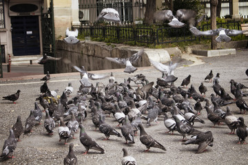 Many pigeons on ground and some fly.