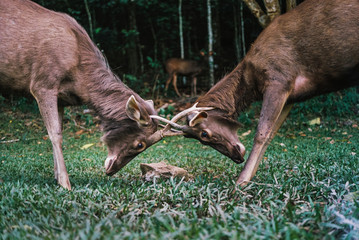 Sambar Deer fighting