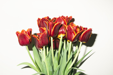 fresh tulips on the white background, direct flash
