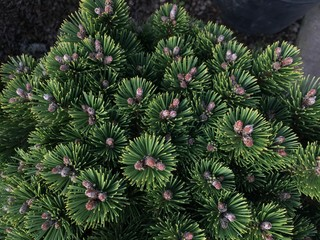 Closeup of Mugo Pine Needles