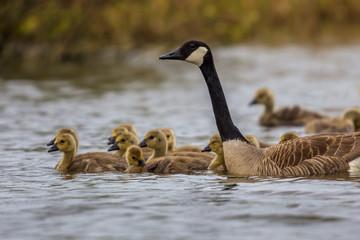 Canada goose guarding chicks