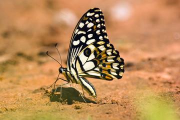 Motyl wapno