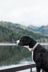 Dog looking across a lake