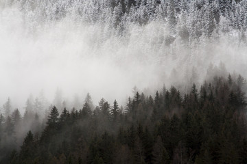 Landscape of a pine forest half snowy with fog