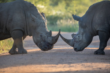 Two black rhinos fighting