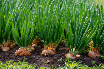 Close-up of onion plants grown in a greenhouse - selective focus