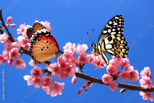 21ff0a65d butterfly on cherry blossom flower