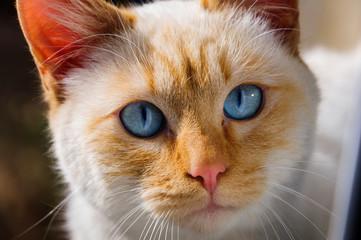 Blue eyes cat portrait
