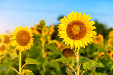 Wall Mural - Sunflower natural background, Sunflower blooming in spring.