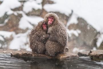 Snow monkeys at Jigokudani monkey snow park.Nagano Japan