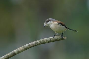 Burmese Shrike female perching on a branch