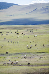 Sheep and goats in Mongolia