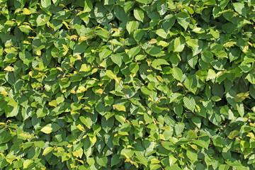 Gemeine Hainbuche, Carpinus betulus, Hecke