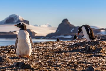 Gentoo penguins chicks enjoing the sun at the Barrientos Island, Antarctic