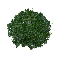 Top view of Carmona (Fukien Tea) bonsai miniature tree with dark green shiny leaves isolated on white background, clipping path included.