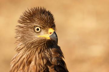 Amazing portrait of a scared kite looking something