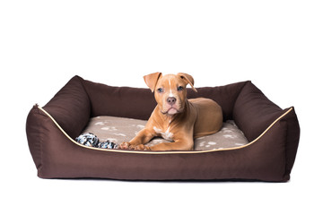 American staffordshire terrier on his bed