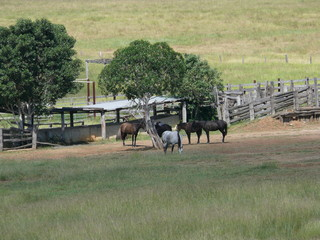 Pasture landscape with trees and fences in East Australia with Horses